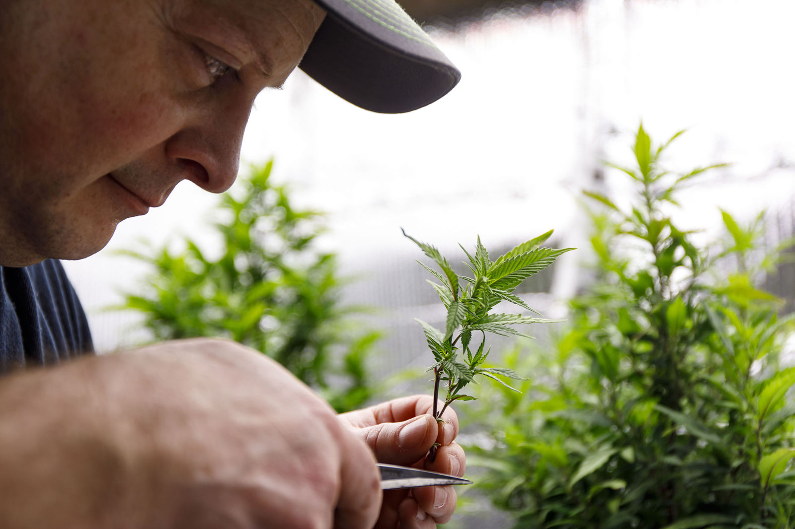 States turn to unenforced federal law to slow medical marijuana legalization