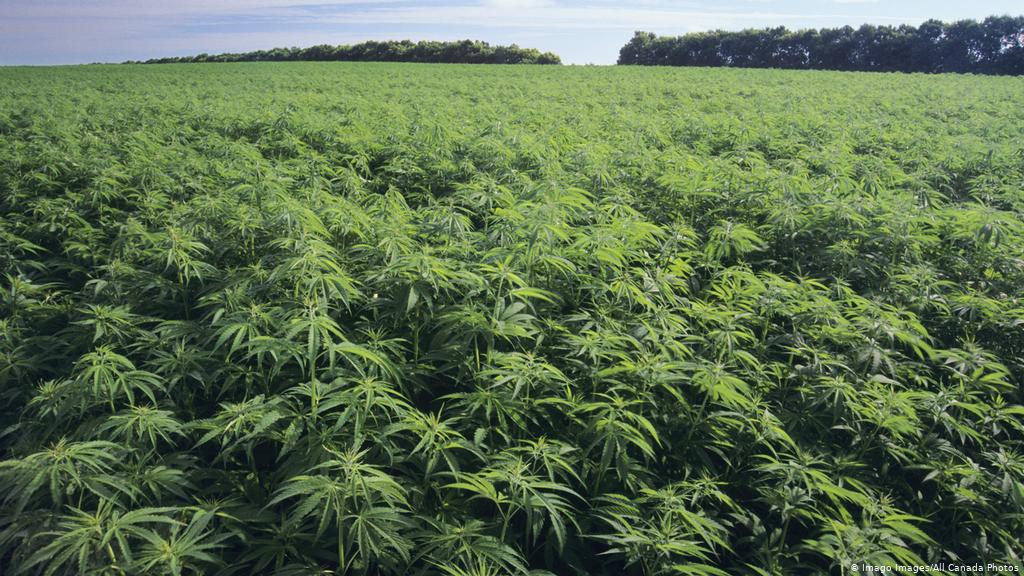 Kentucky Department of Agriculture licenses 2021 hemp growers, processors