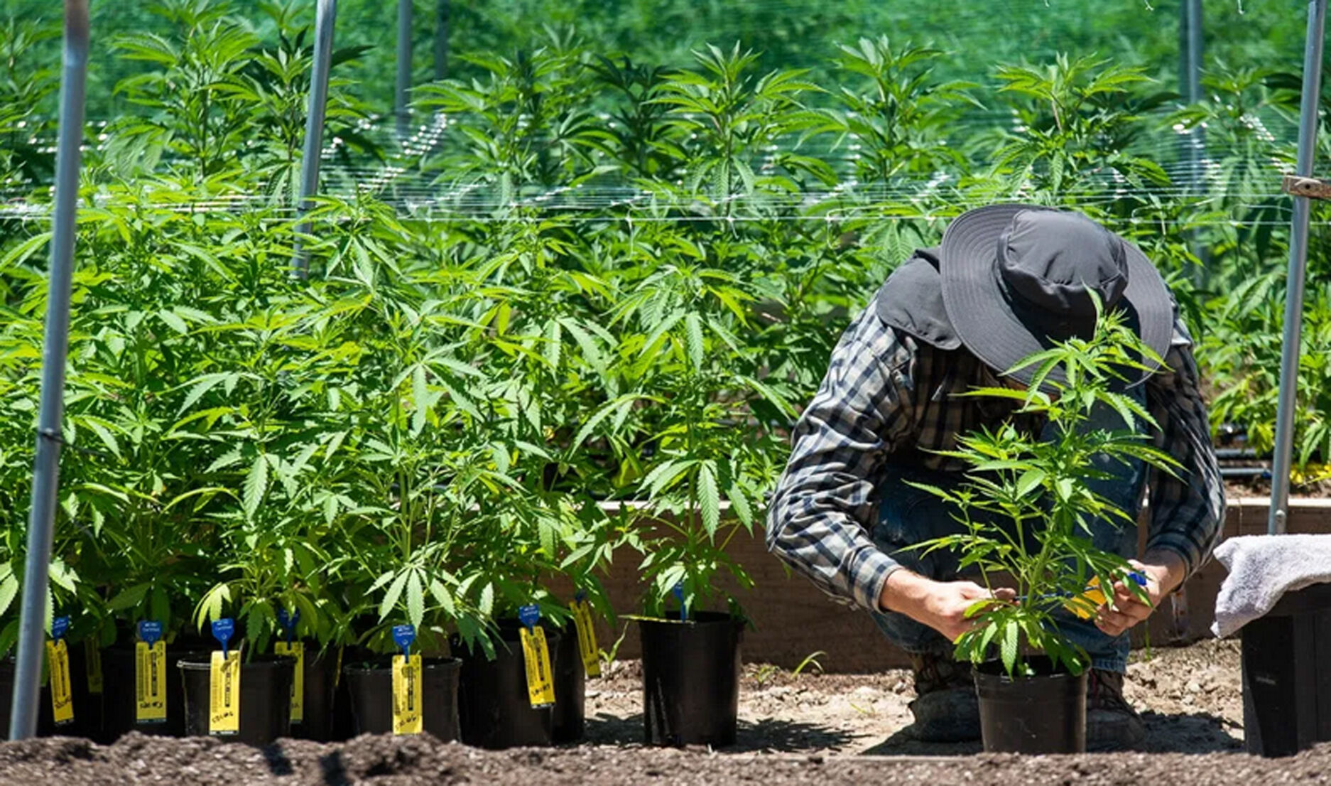 Seed-to-sale tracking for medical marijuana in question