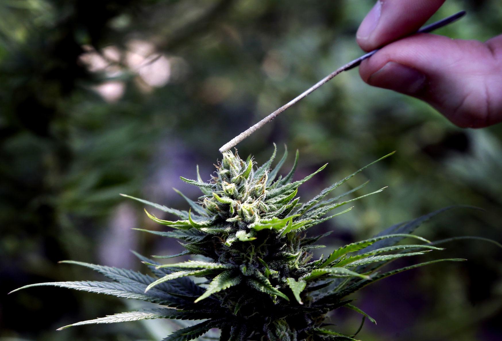 Kentucky licenses fewer hemp growers for 2021
