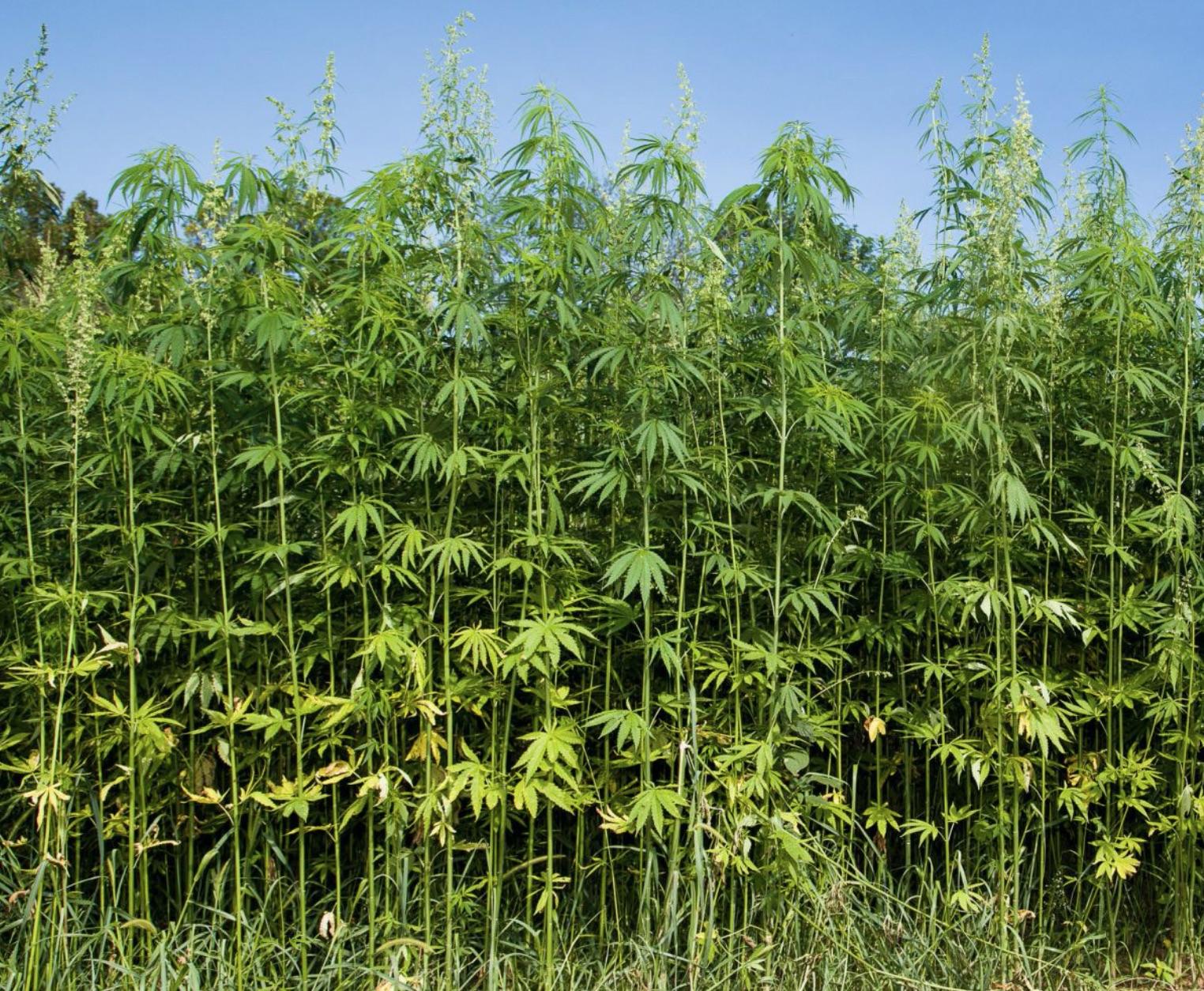Commercial hemp law passes Alaska legislature, 58-2