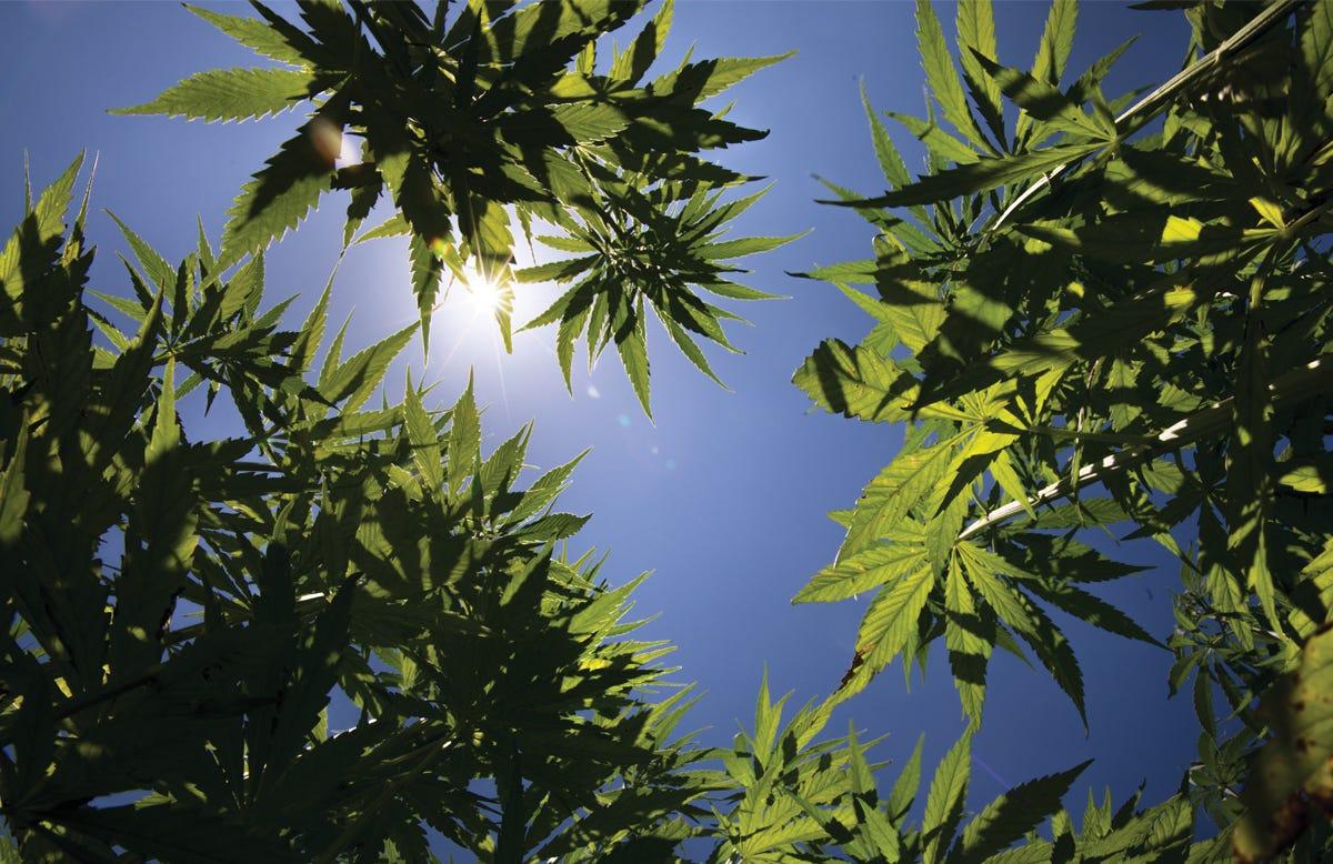 Wisconsin sees 40% decline in hemp grower, processor applications