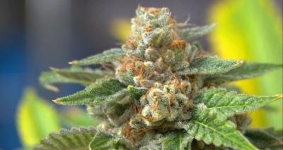 Panel grants preliminary Maryland medical marijuana licenses