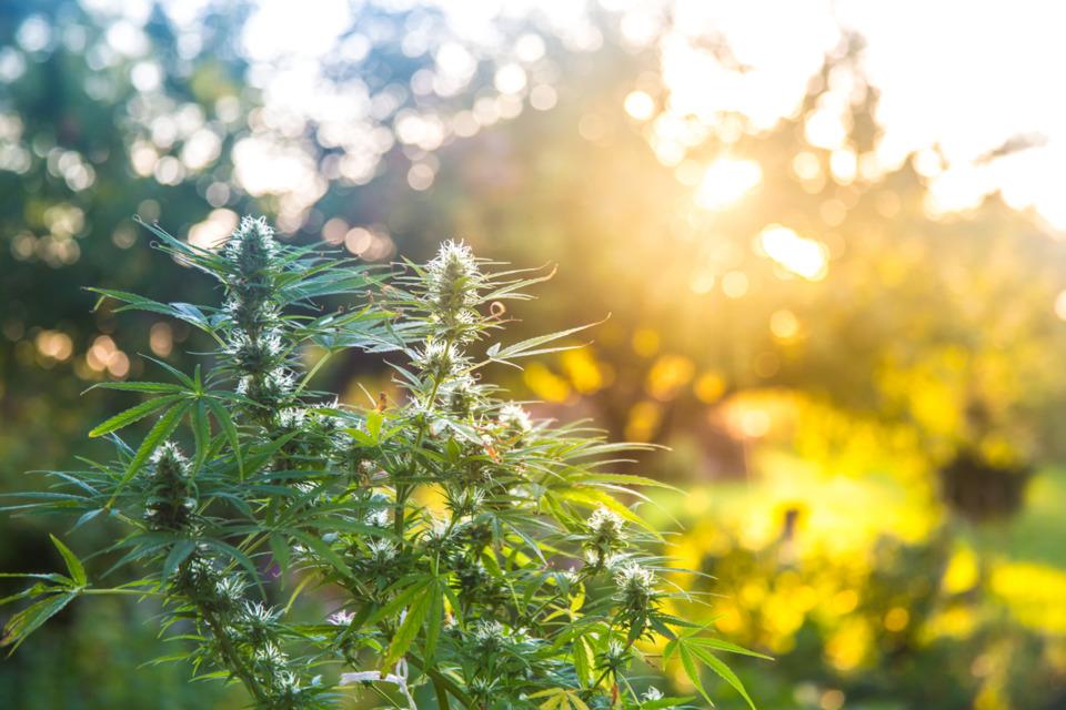 Medical Marijuana Might Not Be Dead Yet