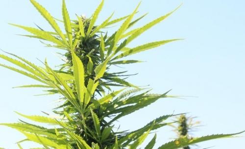 Shinnecocks Plan 'Unique Cannabis Destination'